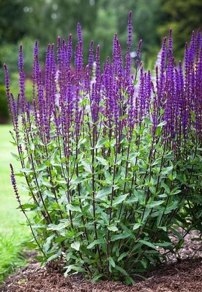 Salvia nemorosa 'Caradonna' AGM. Balkan clary