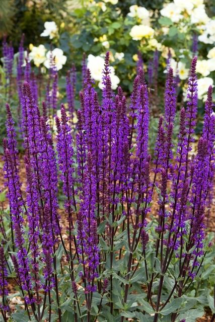 Sauge violette aménagement jardin charme moderne près de Lille