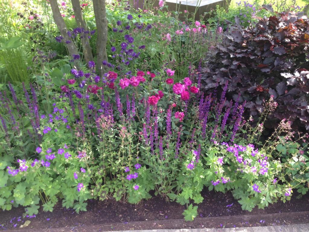 Création d'un massif fleuri avec Geranium Roses et Charmille pourpre