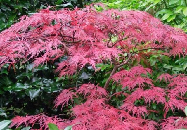 Erable du japon jardin moderne marcq en baroeul