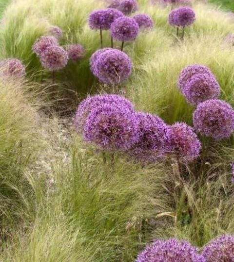 stipa et fleurs d'ail jardin moderne marcq en baroeul